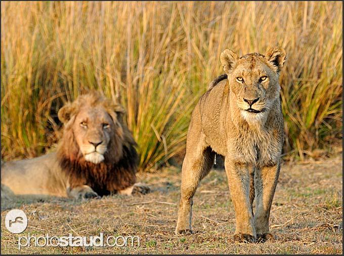Lion male and female (Panthera leo), Kafue National Park, Zambia