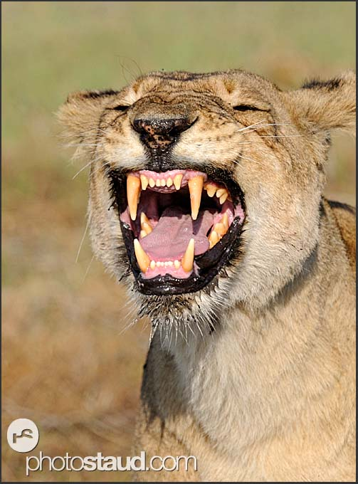 Lioness exposing her teeth (Panthera leo), Kafue National Park, Zambia