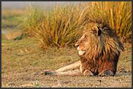 Lion male resting (Panthera leo), Kafue National Park, Zambia