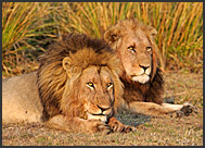Two lion males (Panthera leo) resting in Busanga Plains, Kafue National Park, Zambia