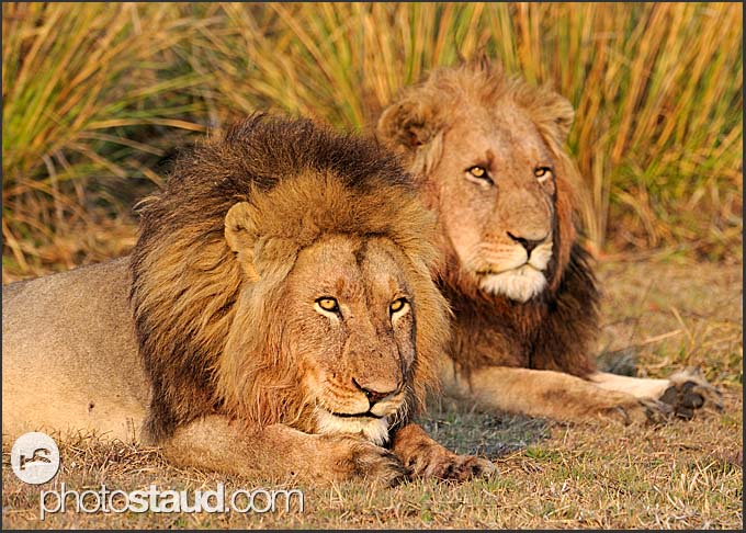Two lion males (Panthera leo) resting in Busanga Plains of Kafue National Park, Zambia