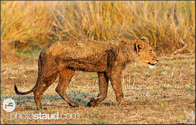 Dirty young lioness (Panthera leo) in Busanga Plains, Kafue National Park, Zambia
