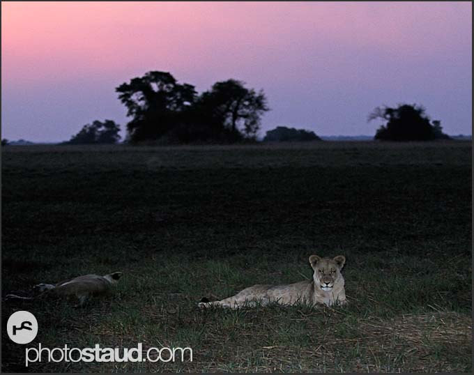 Lioness on resting in darkness (Panthera leo), Kafue National Park, Zambia