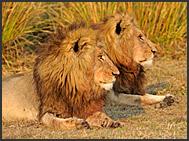 Two lion males (Panthera leo) resting in Busanga Plains, Kafue National Park, Zambia