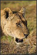 Lion yawning (Panthera leo), Kafue National Park, Zambia