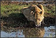 Two lions (Panthera leo) resting in Busanga Plains, Kafue National Park, Zambia