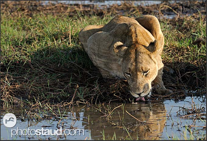 Old lioness drinking (Panthera leo), Kafue National Park, Zambia