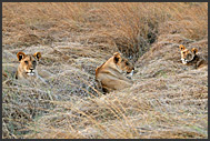 Lions in grass at sunset (Panthera leo), Kafue National Park, Zambia