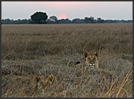 Lioness in grass (Panthera leo), Kafue National Park, Zambia