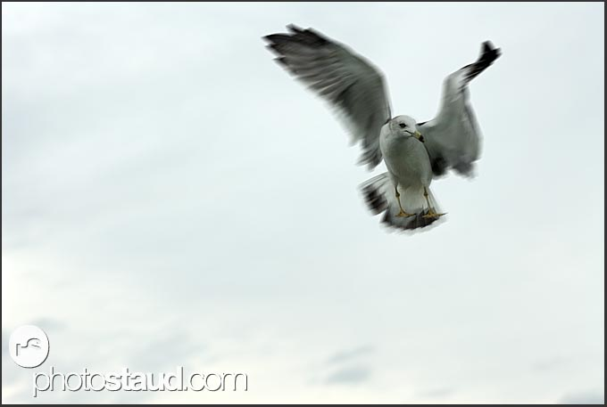 Seagull in flight, Matsushima bay, Japan