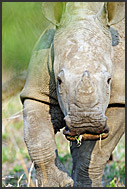Close up portrait of juvenile white rhinoceros (Ceratotherium simum), Mkhaya Game Reserve, Swaziland