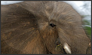 African elephant (Loxodonta africana) close-up, Mkhaya Game Reserve, Swaziland