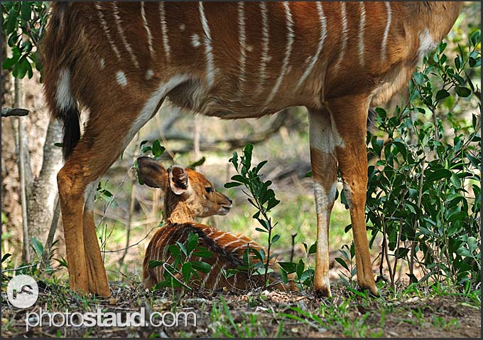 Juvenile nyala (Tragelaphus angasi) with its mother, Mkhaya Game Reserve, Swaziland
