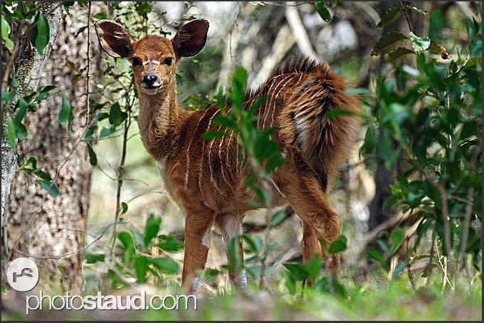 Juvenile nyala (Tragelaphus angasi), Mkhaya Game Reserve, Swaziland