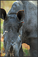 Red billed oxpecker (Buphagus erythrorhynchus) on the head of white rhinoceros (Ceratotherium simum), Mkhaya Game Reserve, Swaziland
