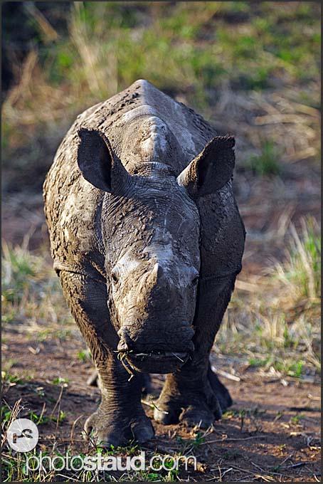 Juvenile white rhinoceros (Ceratotherium simum), Mkhaya Game Reserve, Swaziland