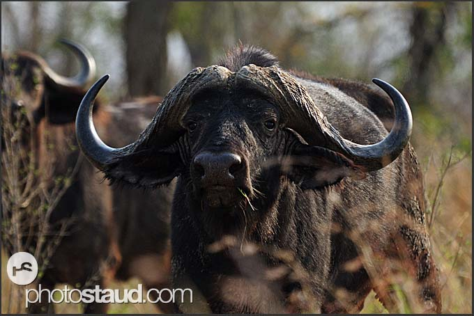 Cape buffalo (Syncerus caffer), Mkhaya Game Reserve, Swaziland