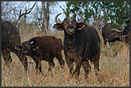 Herd of Cape buffalos (Syncerus caffer) moving through Mkhaya Game Reserve, Swaziland