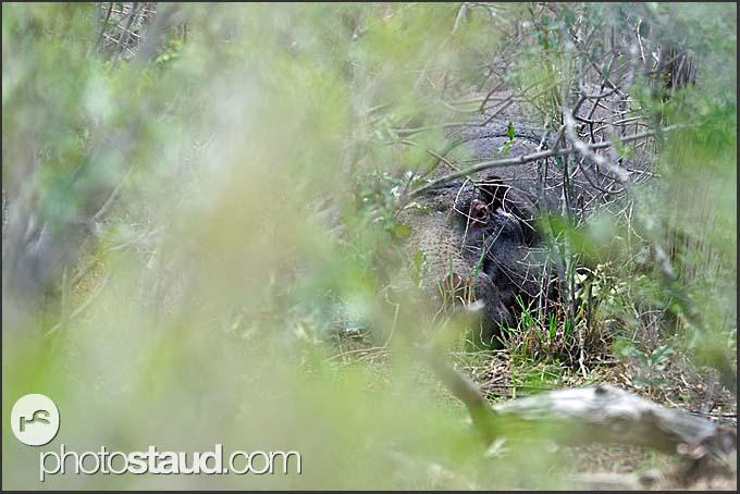 Hiding in the bush - hippopotamus (Hippopotamus amphibius), Mkhaya Game Reserve, Swaziland