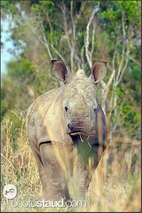 Young white rhinoceros (Ceratotherium simum) hiding in the bush, Mkhaya Game Reserve, Swaziland
