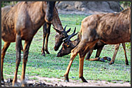 Common tsessebe (Damaliscus lunatus) fight for territory on their knees, Mkhaya Game Reserve, Swaziland