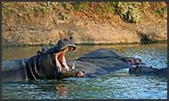 Hippopotamus (Hippopotamus amphibius) resting in water, Mkhaya Game Reserve, Swaziland