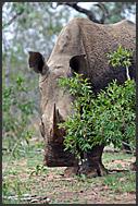 Hippopotamuses (Hippopotamus amphibius) emerging from water, Mkhaya Game Reserve, Swaziland