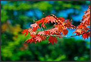 Japanese dragon in maple leaves, Nikko National Park, Japan