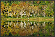 Autumnal foliage reflected in Hasuike pond, Shiga Kogen Heights, Joshin-etsu National Park, Japan