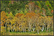 Autumnal foliage of the Japan Alps, Shiga Kogen Heights, Joshin-etsu National Park, Japan