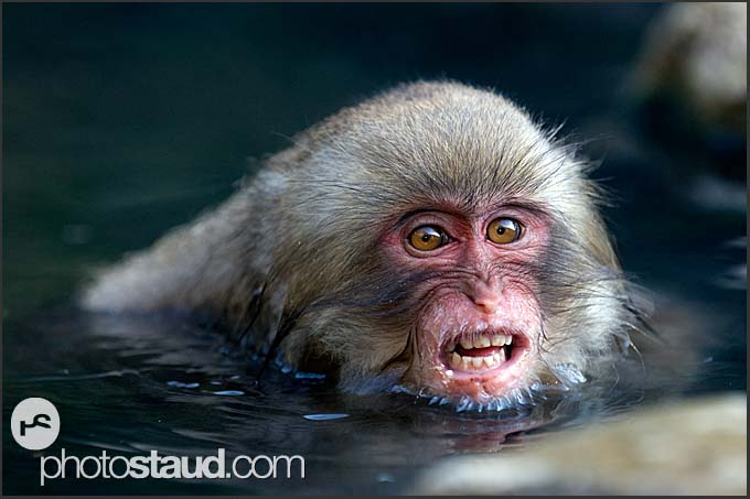 Japanese Macaque baby (Macaca fuscata) exposing its teeth angrily while swimming in hot spring, Jigokudani National Park, Japan