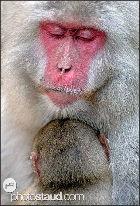 Japanese Macaque (Macaca fuscata) nurturing her baby - close up portrait, Jigokudani National Park, Japan