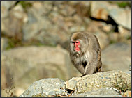 Japanese Macaque (Macaca fuscata) in the hills of Jigokudani National Park, Japan