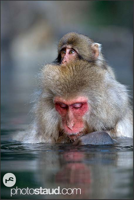 Japanese Macaque (Macaca fuscata) rests in hot spring while carrying her baby, Jigokudani National Park, Japan