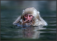 Japanese Macaque baby (Macaca fuscata) in hot spring covering its face, Jigokudani National Park, Japan