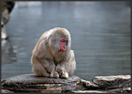 Japanese Macaque (Macaca fuscata) resting in waters of Jigokudani hot springs, Japan