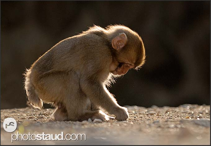 Young Japanese Macaque (Macaca fuscata) playing with stones, Nagano, Japan