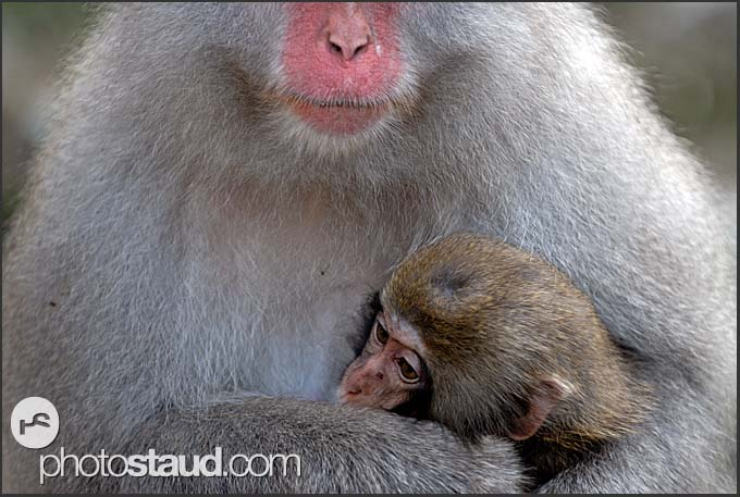 Young snow monkey (Japanese Macaque, Macaca fuscata) resting on mom's chest, Nagano, Japan
