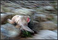 Two Japanese Macaques (Macaca fuscata) soaking in hot spring water, Jigokudani National Park, Japan