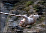 Japanese Macaque, Snow Monkey (Macaca fuscata) jumping over a stream, Nagano, Japan