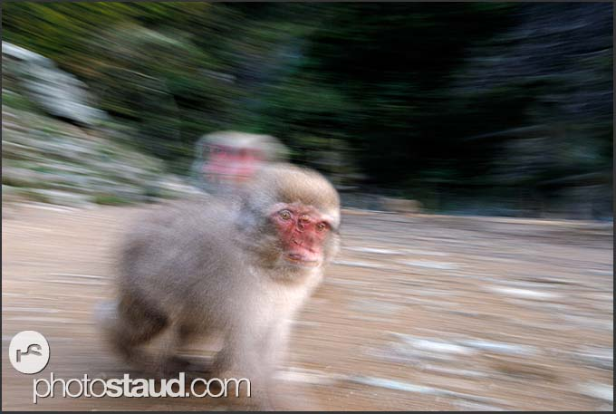 Japanese Macaque (Macaca fuscata) with baby on her back running in the hills of Nagano, Japan
