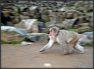 Japanese Macaques (Macaca fuscata) running in the hills of Nagano, Japan