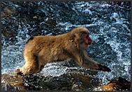 Japanese Macaque (Macaca fuscata) jumping over a stream, Nagano Mountains, Japan