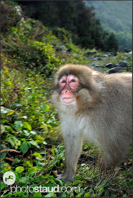 Japanese Macaque (Macaca fuscata) in the hills of Nagano, Japan