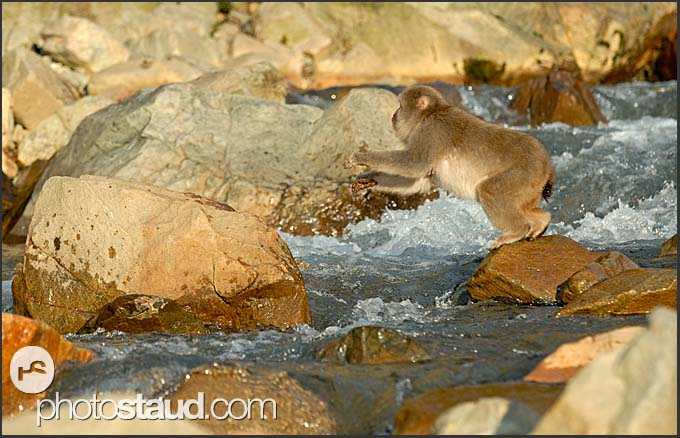 Japanese Macaque (Macaca fuscata) jumping across a stream in the hills of Nagano, Japan