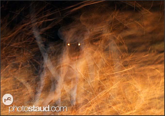 Ghost in the night - Spotted hyena (Crocuta crocuta), South Luangwa National Park, Zambia