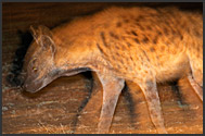 Spotted hyena (Crocuta crocuta) moving in the night, South Luangwa National Park, Zambia