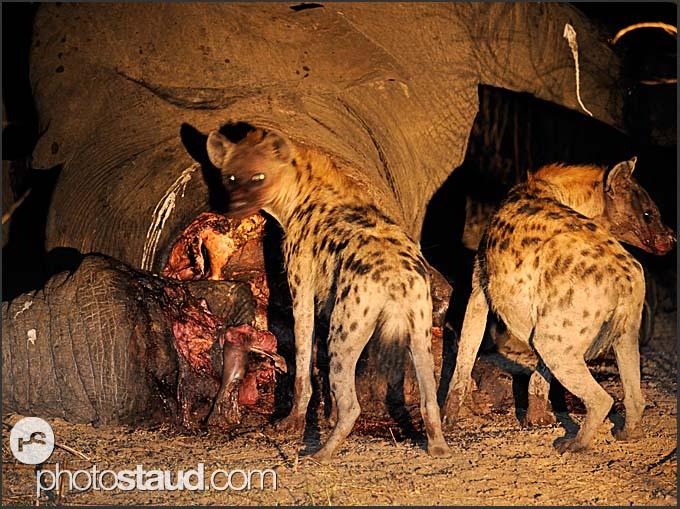 Two Spotted hyenas (Crocuta crocuta) feeding on elephant body at night (Loxodonta africana), South Luangwa National Park, Zambia