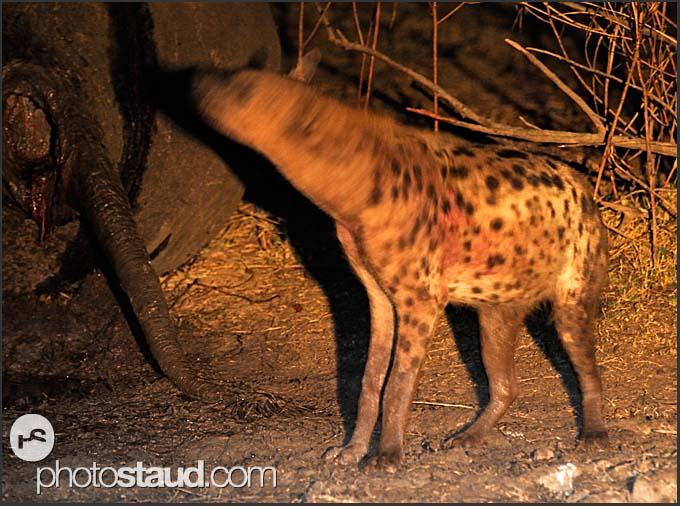 Spotted hyena (Crocuta crocuta) feeding on elephant body at night (Loxodonta africana), South Luangwa National Park, Zambia