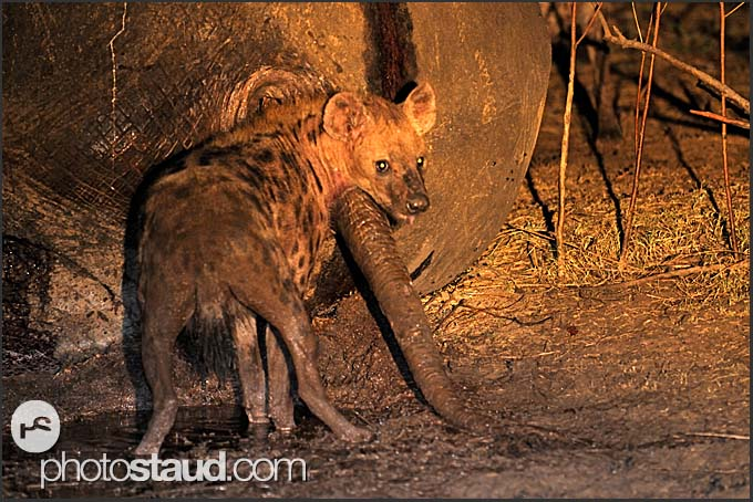 Spotted hyena (Crocuta crocuta) feeding on elephant body at night (Loxodonta africana), South Luangwa National Park, Zambia
